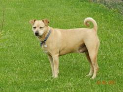 Tino, chien Basenji