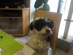 Tinou, chien Bichon havanais