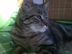 Tinou, chat Européen