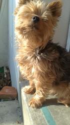 Tinou, chien Yorkshire Terrier