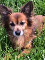 Tinou, chien Épagneul nain continental