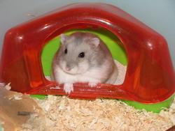 Tinou Est Au Paradis, rongeur Hamster