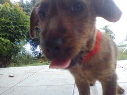 Tintin, chien