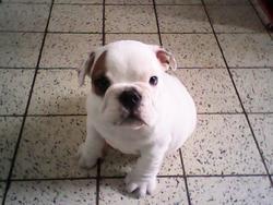 Tipex, chien Bulldog