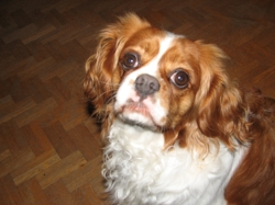 Tiphaine, chien Cavalier King Charles Spaniel