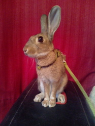 Tipo, rongeur Lapin