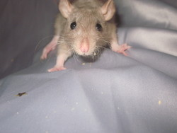 Tippi, rongeur Rat