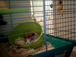 Tippy, rongeur Hamster