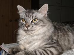 Tipsy, chat Sibérien