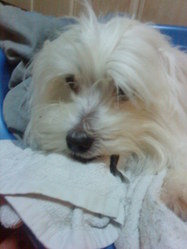 Tipsy, chien Coton de Tuléar