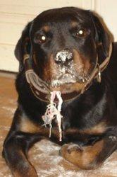 Tipsy, chien Rottweiler