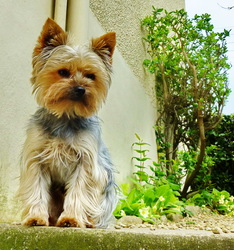 Tipunch, chien Yorkshire Terrier