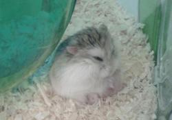 Tiramissou, rongeur Hamster