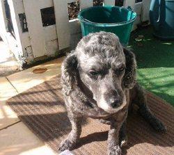 Tiramisu, chien Caniche