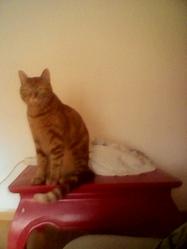 Tiroux, chat Gouttière