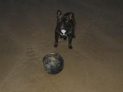 Tisby, chien Bouledogue français