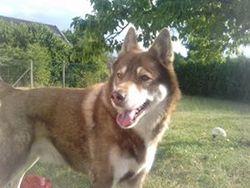 Tison, chien Husky sibérien