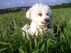 Tistou, chien Bichon à poil frisé