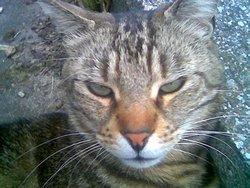 Tit Loup, chat Européen