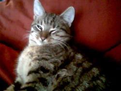 Tit Mouss, chat Européen