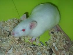 Tit Tac, rongeur Rat