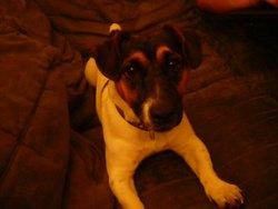 Titan, chien Jack Russell Terrier