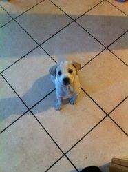 Titan, chien Labrador Retriever