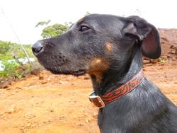Titan, chien Beauceron