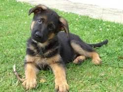 Titan, chien Berger allemand