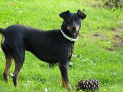 Titan, chien Pinscher