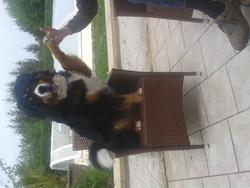 Titan, chien Bouvier bernois