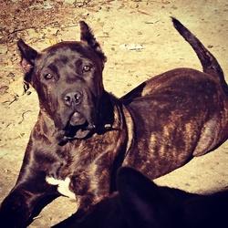 Titan, chien Dogo canario