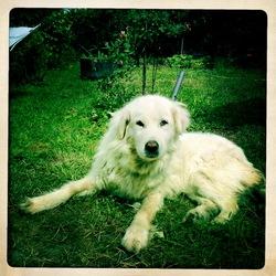 Titane , chien Berger de Maremme et des Abruzzes