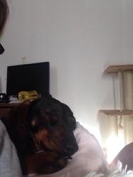 Titane, chien Teckel