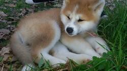 Titanium, chien Akita Inu