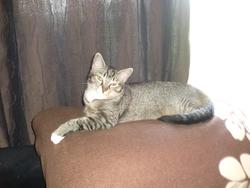 Tite Minette, chat Européen