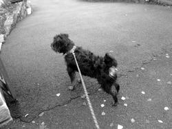 Tite, chien Jagdterrier