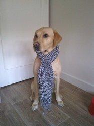 Titeuf, chien Labrador Retriever