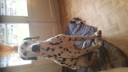 Titeuf, chien Dalmatien