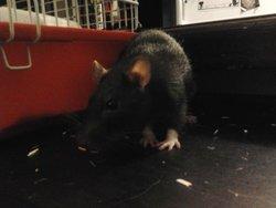 Titi, rongeur Rat