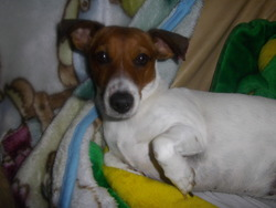 Titi, chien Jack Russell Terrier