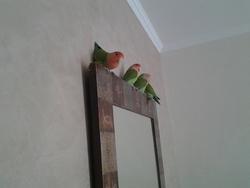 Titi Oiseaux Inseparable, autres