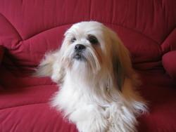 Titi, chien Lhassa Apso