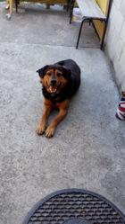 Titi, chien Beauceron