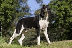 Titi, chien Grand Anglo-Français blanc et noir