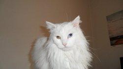 Titi, chat Angora turc
