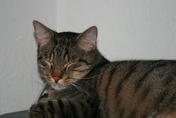 Titi, chat Européen