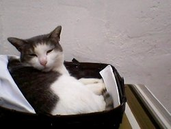 Titie, chat Européen