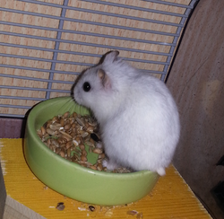 Titine, rongeur Hamster