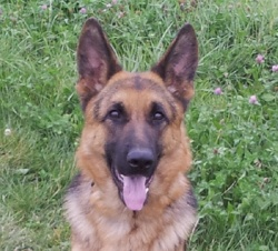 Titiza, chien Berger allemand